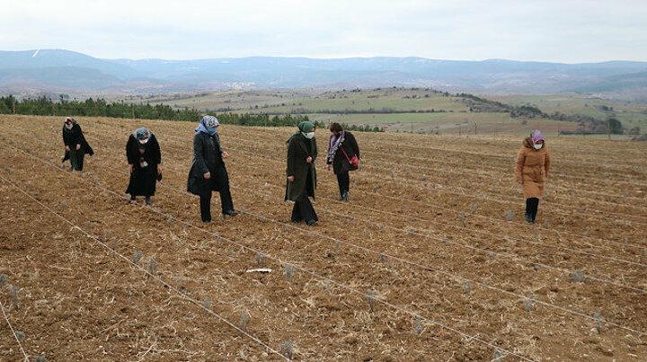 Kastamonulu kadınlar birlik olup lavanta üretimine başladı…